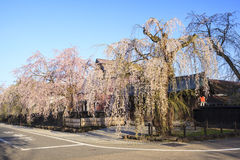 Weeping Cherries of Kakunodate Royalty Free Stock Images