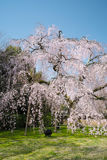 Weeping Cherry Blossom at Daigoji Temple (Daigo-ji) in Kyoto, Japan. Royalty Free Stock Photos
