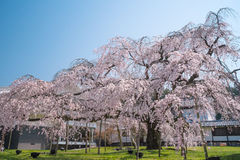 Weeping Cherry Blossom at Daigoji Temple (Daigo-ji) in Kyoto, Japan. Royalty Free Stock Photography