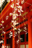Weeping cherry blossom at Japanese Shrine, Kyoto. Royalty Free Stock Images