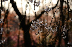 Weeping cherry blossom, Kyoto Japan Stock Photos