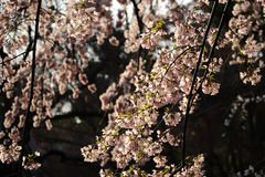 Weeping cherry blossom, Kyoto Japan Stock Photography