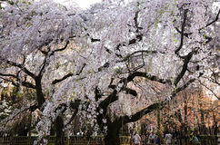 Weeping cherry blossom, Kyoto Japan Stock Image