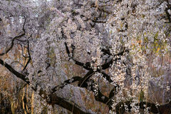 Weeping cherry blossom, Kyoto Japan Royalty Free Stock Images