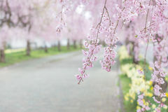 Weeping cherry blossom Stock Photo