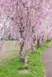 Weeping cherry blossom Stock Photos
