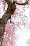 Weeping cherry blossom Stock Photography