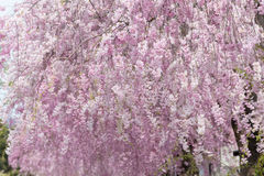 Weeping cherry blossom. Pink weeping sakura blooming on tree Royalty Free Stock Images