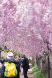 Weeping cherry blossom Royalty Free Stock Photo