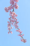 Weeping cherry blossoms Stock Images