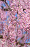 Weeping Cherry blossoms Stock Image