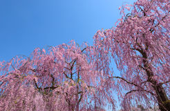 Weeping Cherry blossoms Stock Photos