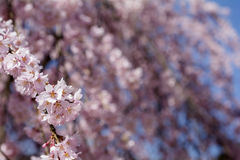 Weeping cherry blossoms. Close up weeping cherry blossoms in front of flower blurs Royalty Free Stock Image