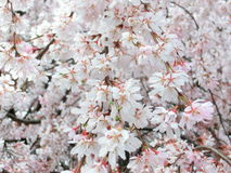 Weeping cherry blossoms. Or drooping cherry-tree blossoms Royalty Free Stock Photography