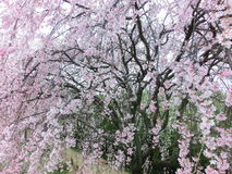Weeping cherry blossoms. Or drooping cherry-tree blossoms Stock Photography