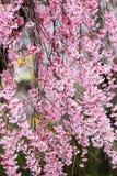Weeping cherry blossoms at Funaoka Castle Ruin Park,Shibata,Miyagi,Tohoku,Japan in spring. Royalty Free Stock Photos