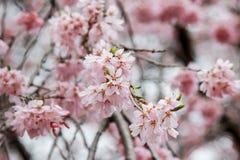 Weeping cherry blossoms at Funaoka Castle Ruin Park,Shibata,Miyagi,Tohoku,Japan in spring. Royalty Free Stock Images