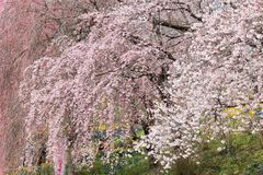Weeping cherry blossoms at Funaoka Castle Ruin Park,Shibata,Miyagi,Tohoku,Japan in spring. Royalty Free Stock Image