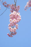 Weeping cherry blossoms in Japan Stock Photos