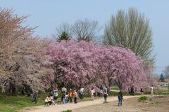Weeping Cherry blossoms or Sakura in Tenshochi park, Japan Royalty Free Stock Photos