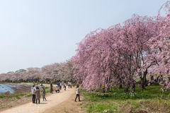 Weeping Cherry blossoms or Sakura in Tenshochi park, Japan Royalty Free Stock Photos