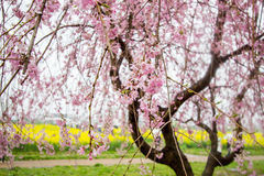Weeping cherry blossoms and yellow nanohana field at Gongendo Park,Satte,Saitama,Japan. Stock Photography