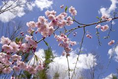 Weeping Cherry - Blue Sky. Spring blossoms on a weeping cherry tree backed by a brilliant blue sky Stock Images