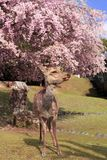 Weeping cherry and deer Royalty Free Stock Images