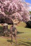 Weeping cherry and deer. In Nara Park, Nara, Nara Prefecture, Japan Royalty Free Stock Images