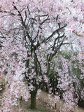 Weeping cherry Stock Images