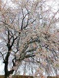 Weeping cherry Royalty Free Stock Photo