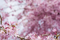 Weeping cherry flower. Close up gradation weeping cherry flower in front of pink blurs Stock Photos