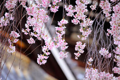 Weeping cherry flower with japanese temple Stock Image