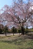 Weeping cherry in Nara Park Royalty Free Stock Images