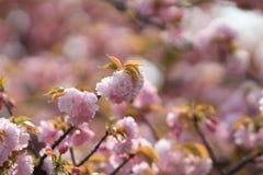 Weeping cherry at osaka Royalty Free Stock Images
