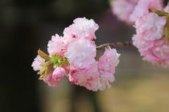 Weeping cherry at osaka Royalty Free Stock Image