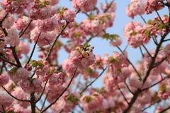 Weeping cherry at osaka Stock Images