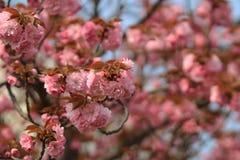 Weeping cherry at osaka Stock Photography