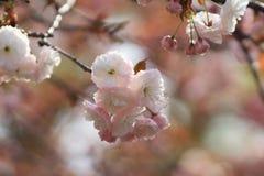 Weeping cherry at osaka Royalty Free Stock Photo