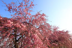 Weeping cherry tree. It is a Weeping cherry tree Royalty Free Stock Image