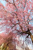 Weeping cherry tree. It is a Weeping cherry tree Stock Photos