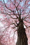 Weeping cherry tree. It is a Weeping cherry tree Royalty Free Stock Images
