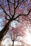Weeping cherry tree. It is a Weeping cherry tree Royalty Free Stock Photography