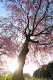 Weeping cherry tree. It is a Weeping cherry tree Royalty Free Stock Photo