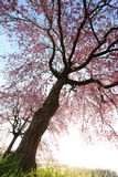 Weeping cherry tree. It is a Weeping cherry tree Royalty Free Stock Photos