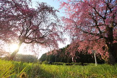 Weeping cherry tree. It is a Weeping cherry tree Stock Image