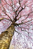 Weeping cherry tree. It is a Weeping cherry tree Stock Images