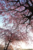Weeping cherry tree. It is a Weeping cherry tree Stock Photo