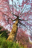 Weeping cherry tree. It is a Weeping cherry tree Stock Photography