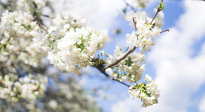 Weeping cherry tree and the blue spring sky Royalty Free Stock Photos